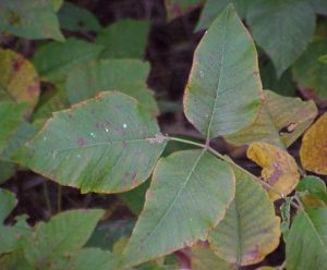 poison ivy oak